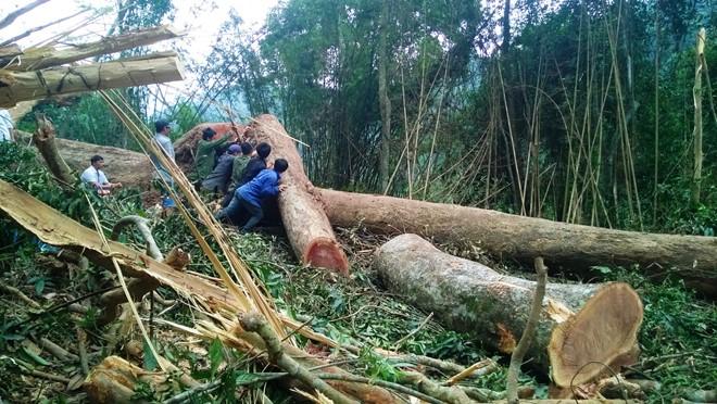 Những người thợ cắt gỗ đang vần khối gỗ lớn ở phần ngọn xuống đường vận chuyển. Ảnh: Anh Tuấn