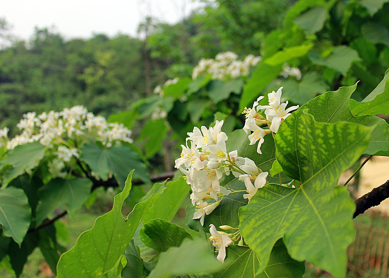 Thương nhớ mùa hoa trẩu - Ảnh minh hoạ 3