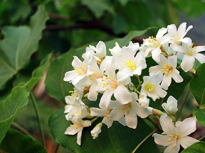 Thương nhớ mùa hoa trẩu