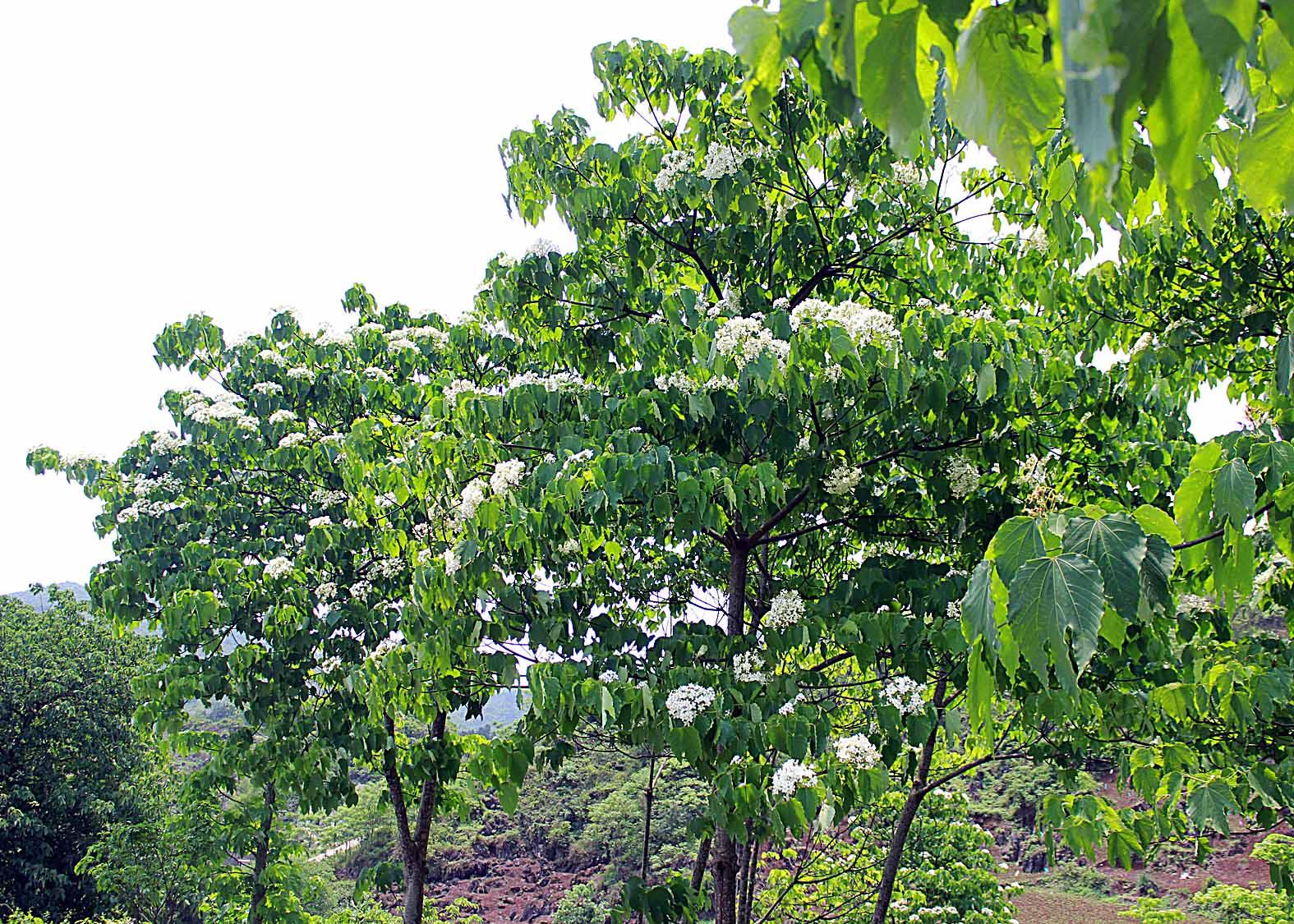 Thương nhớ mùa hoa trẩu - Ảnh minh hoạ 5