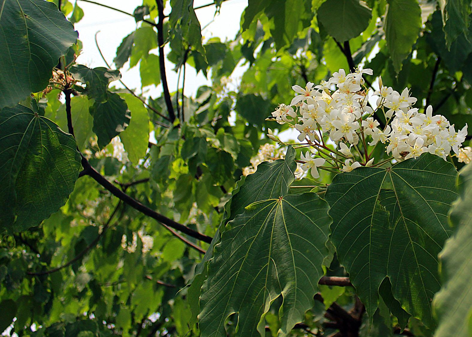 Thương nhớ mùa hoa trẩu - Ảnh minh hoạ 11