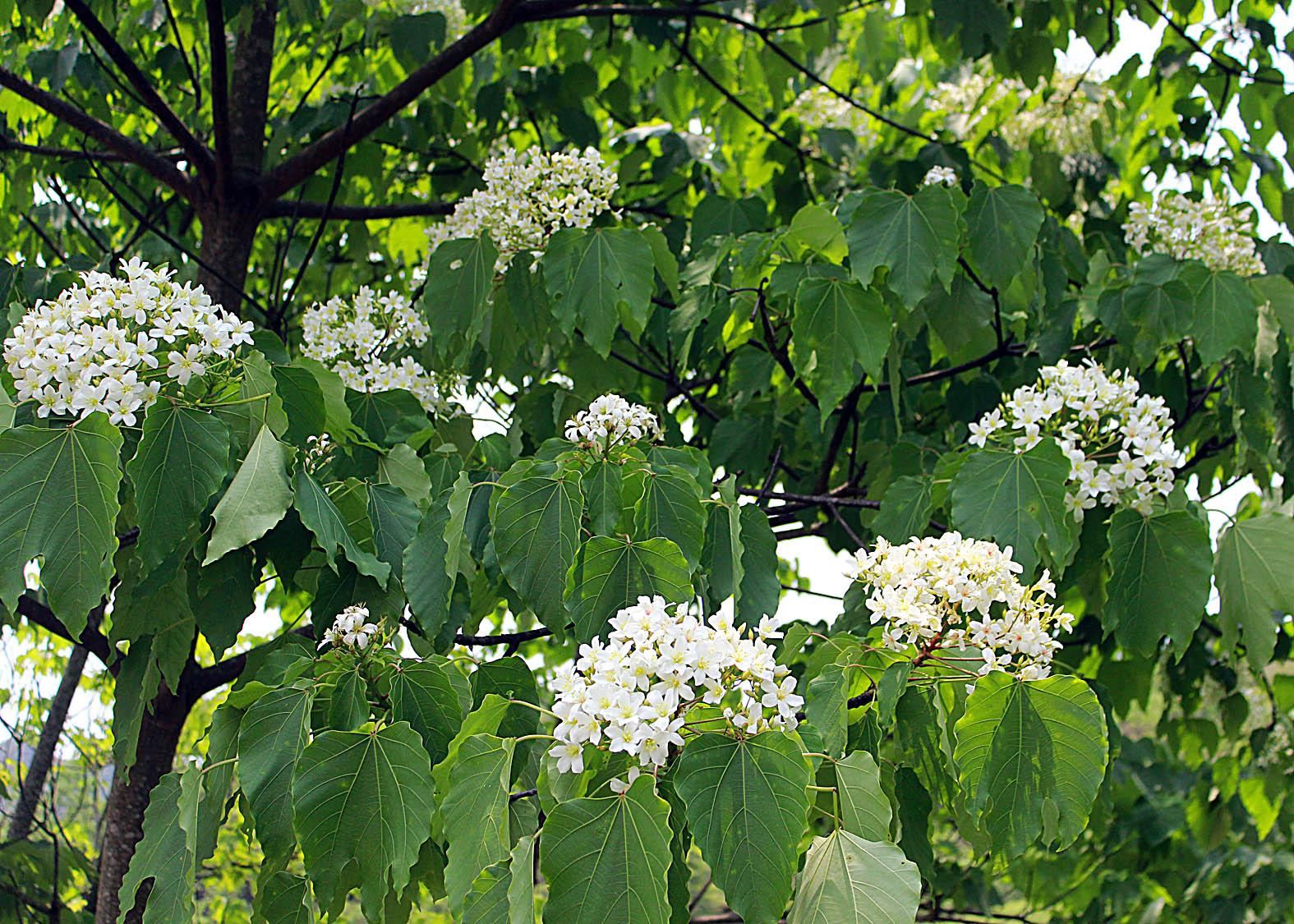 Thương nhớ mùa hoa trẩu - Ảnh minh hoạ 6