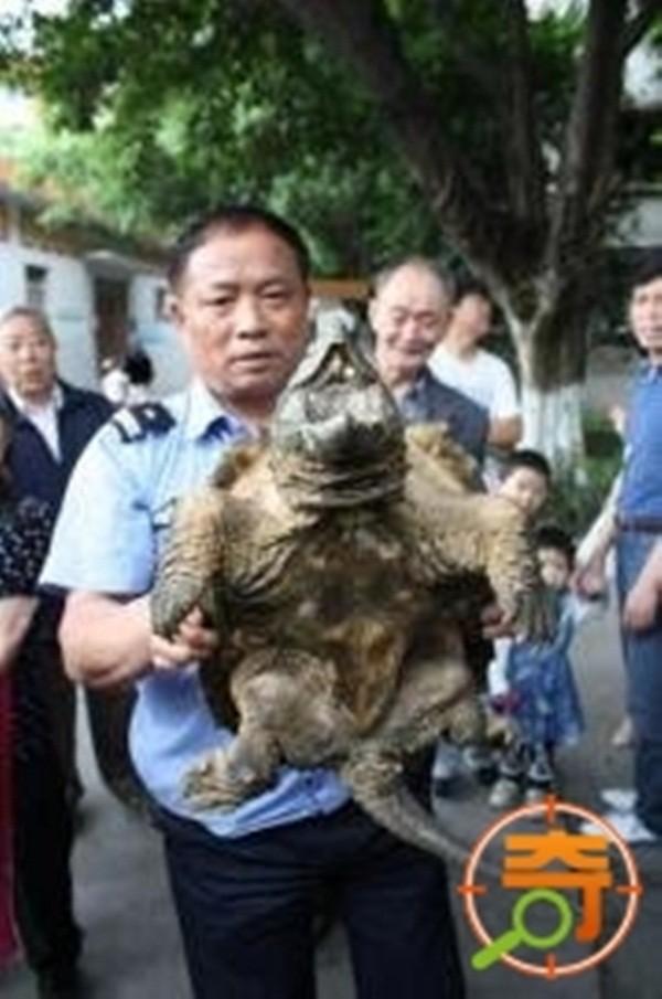 Đã có tới 2 lần con rùa cá sấu này được phát hiện tại Trung Quốc.
