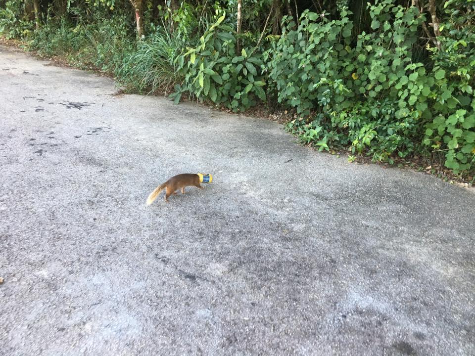 Du khách Sơn Trà giải cứu chú cầy cắm đầu vào vỏ lon bia