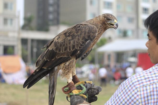Cũng thuộc dòng chim săn mồi, nhưng Chim Đại Bàng đỏ (Bonilist) này chỉ nặng khoảng hơn 1kg. Loại chim này thường có ở khu vực phía Bắc.
